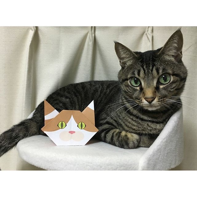 Hi, I'm Myu! Posing with Hana the origami cat.Here is my girlfriend, Hana the origami catCatchyの折り紙は5種類の猫さんがいるよ!この子は、はなちゃん!#cat #neko #catsofinstagram