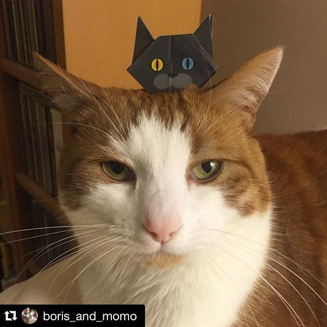 Thank you so much for posting handsome boy, Boris!!猫折り紙、スコットランドのボリスちゃんに頭乗せ♪いつもありがとうございます!#Repost @boris_and_momo with @repostapp.・・・I look so handsome in this photo . #papercatphotobomb #おりがみ @catchy_business