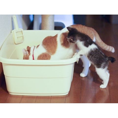"How Do You Check Your Cat's Daily Health? ~Litter Box Check~猫の健康管理、トイレをチェックしよう!:Updated Catchy Boutique Blog!ブログを更新しました!(日英表記です):︎Check out ""Catchy-boutique"" in our URL:#origami #折り紙 #cat #neko #ねこ #ネコ"