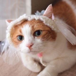 "Hana with the bridal style headdress.まるで花嫁みたい♡(Cat Headdress from Japan):New Product from Catchy boutique!Adorable hand-knitted cat costumes by handmade cat goods artist, Fuwakorocraft from Japan!Check out ""Catchy-boutique"" in our URL:☞Follow: @catchyboutique☞tag: #catchy222 to share your photo with catchy goods:#cat #neko #ねこ #ネコ #headdress #headaccessories #headpiece #cathat #catcostume #bridal #eclatcat"