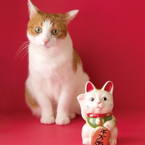 "Want to know about Lucky Cat (Maneki Neko)? Visit Catchy's website to learn more!招き猫の意味、詳しく知りたい方はCatchyのblogへ♪(日英表記):︎Check out ""Catchy-boutique"" in our URL:#cat #neko #ねこ #ネコ#cattoy #cattoys #またたび#manekineko #luckycat #beconingcat"